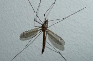 Sivrisinekler